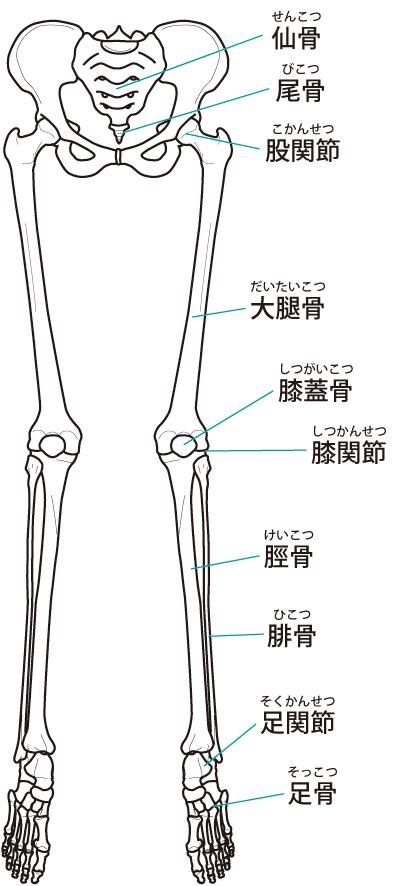 下肢関節のイラスト