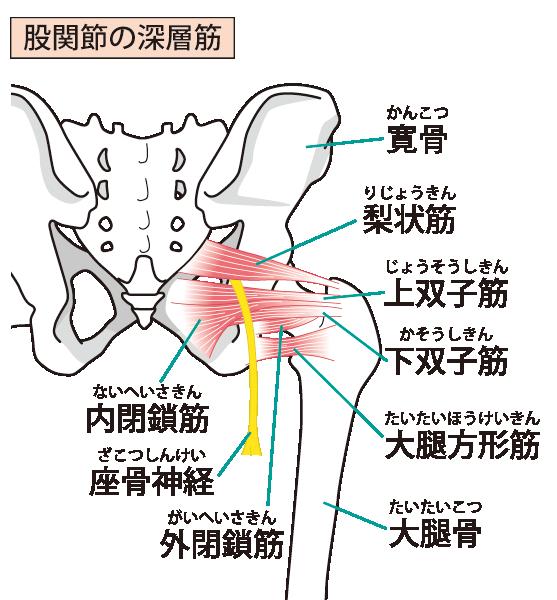 坐骨神経のイラスト